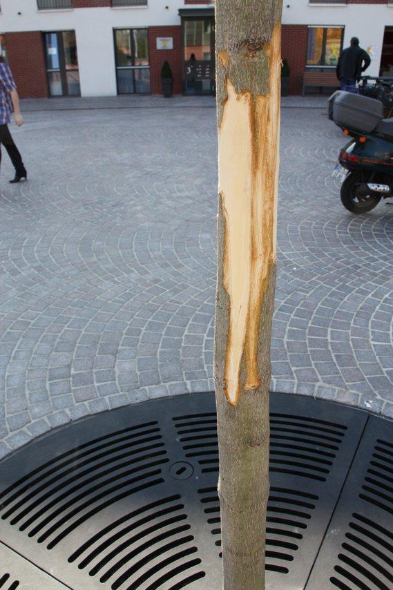 """Kastanie am Dorfplatz """"geschält"""" – Baum nicht zu retten?"""