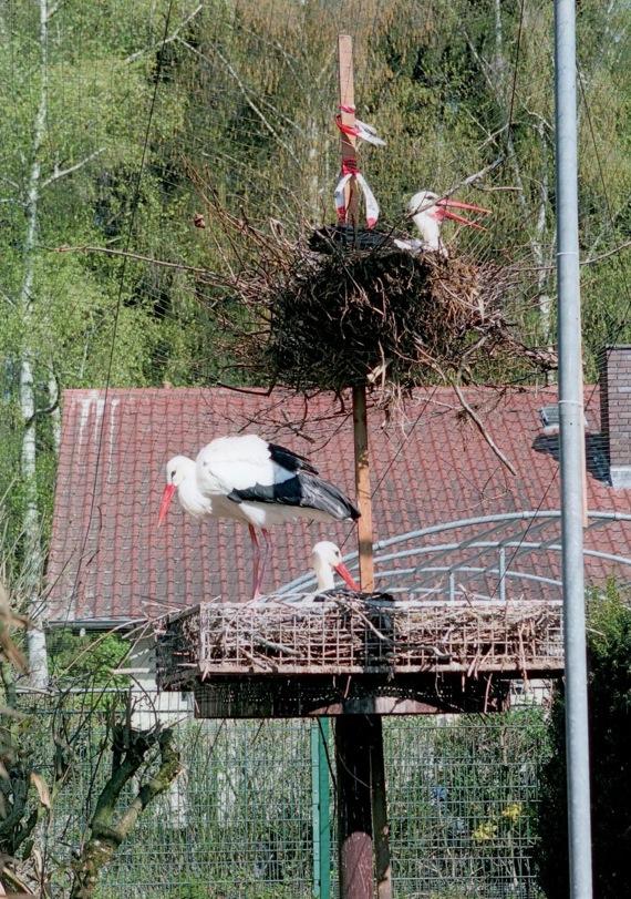 Da hat sich der Storch ein Nest gemacht – leider an der falschen Stelle